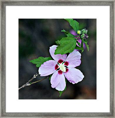 Pale Lavender Hibiscus Framed Print by Linda Phelps