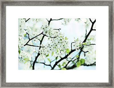 Framed Print featuring the photograph Pale Pear Blossom by Jessica Jenney