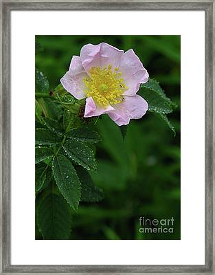 Pale Pink And Wild Framed Print by Deborah Johnson