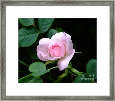Pale Pink Rose Framed Print