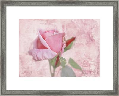 Pale Pink Rose Framed Print
