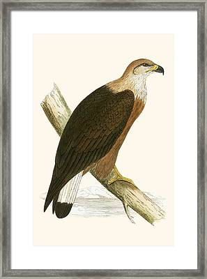 Pallas's Sea Eagle Framed Print by English School