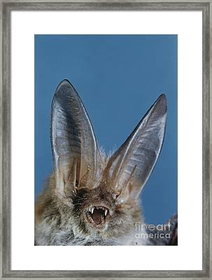 Pallid Bat Framed Print