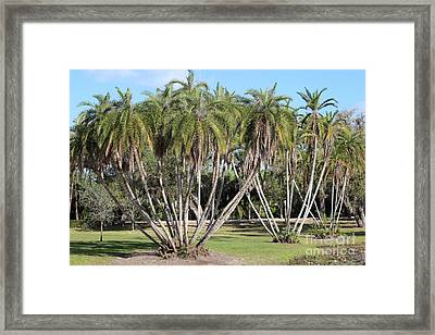 Palm Clusters Framed Print by Liesl Walsh