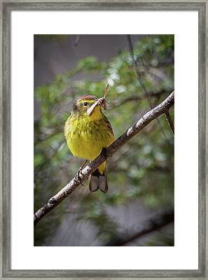 Palm Warbler Framed Print by Bill Wakeley