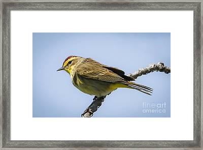 Palm Warbler  Framed Print by Ricky L Jones
