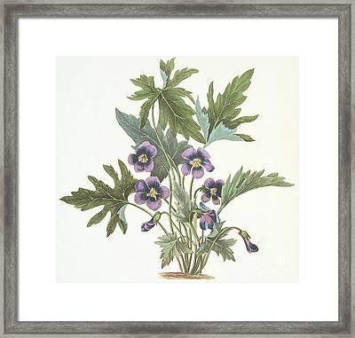 Palmate Leaved Violet Framed Print