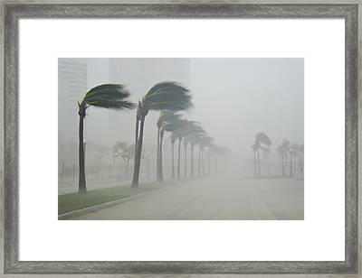 Palms Blow In 100 Mile-per-hour Winds Framed Print by Mike Theiss