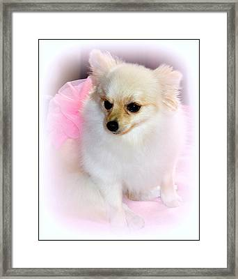 Pampered Pomeranian  Framed Print by Kathy  White