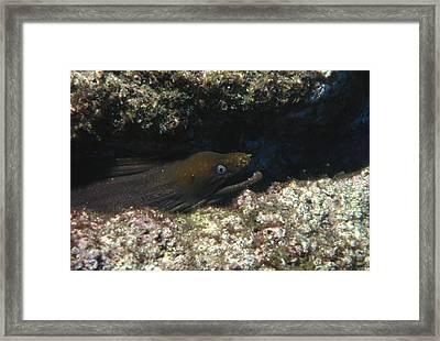 Panamic Green Eel Hides In Reef Framed Print by James Forte