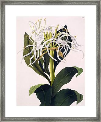 Pancratium Speciosum Framed Print by Mrs Edward Bury