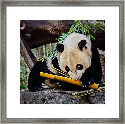 Panda Bear Framed Print by Robert Bales