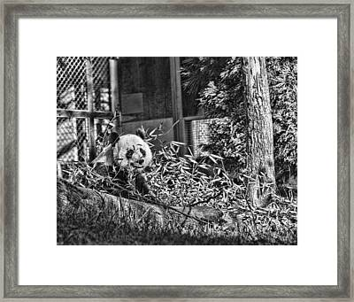 Panda Feast Framed Print