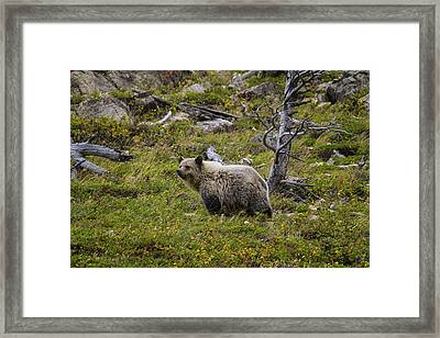 Panda In Many Glacier Framed Print by Mark Kiver