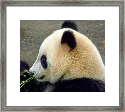 Panda Snack Framed Print by Karen Wiles