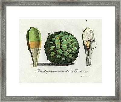 Pandanus Fruit Guam Marianas Framed Print