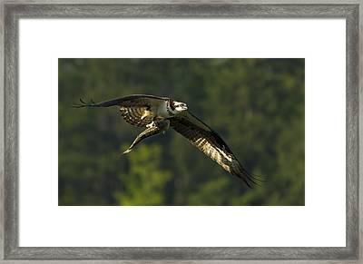 Pandion Haliaetus Framed Print by Mircea Costina Photography