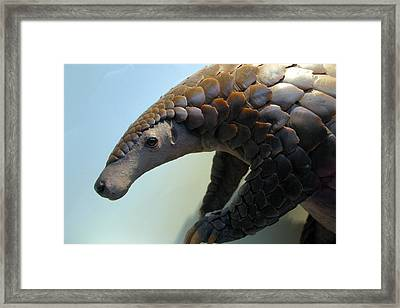 Pangolin Framed Print by Jez C Self