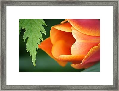 Pankow Tulip Framed Print