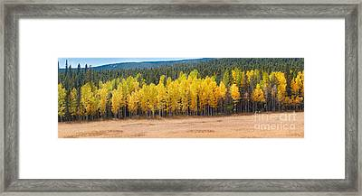 Panorama Of Aspen Grove Fall Foliage Peak To Peak Highway - Rocky Mountains Colorado State Framed Print