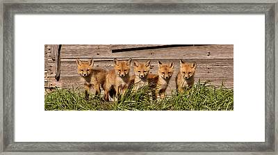 Panoramic Fox Kits Framed Print
