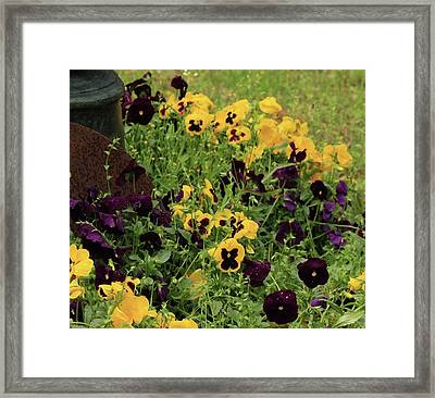 Framed Print featuring the photograph Pansies by Kim Henderson