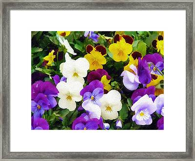 Pansies Framed Print by Sandy MacGowan