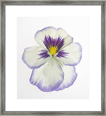 Pansy 2 Framed Print by Tony Cordoza