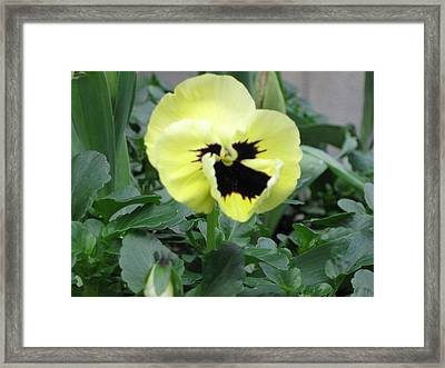 Pansy Framed Print by AJ Brown