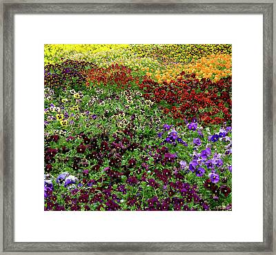 Framed Print featuring the photograph Pansy Garden by Frank Tschakert