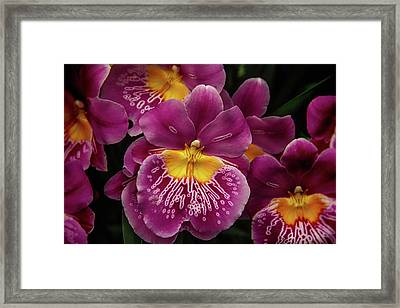 Pansy Orchid Framed Print by Garry Gay