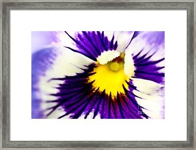 Pansy Violets Framed Print by Ryan Kelly