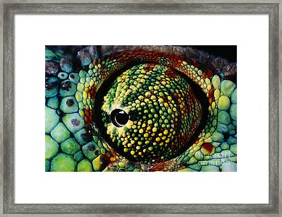 Panther Chameleon Eye Framed Print by Daniel Heuclin and Photo Researchers