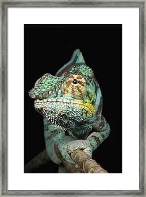 Panther Chameleon (furcifer Pardalis) Male On Branch Framed Print