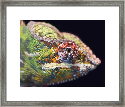 Framed Print featuring the photograph Panther Chameleon  by Nathan Rupert
