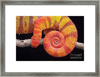 Panther Chameleon Tail Framed Print