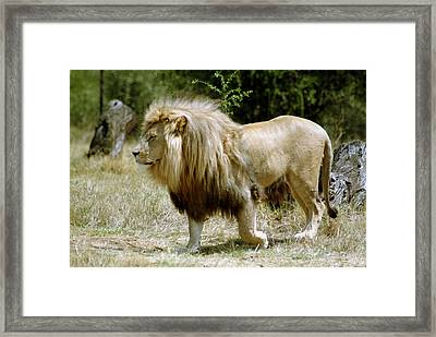 Papa Lion On The Prowl Framed Print by Charles  Ridgway