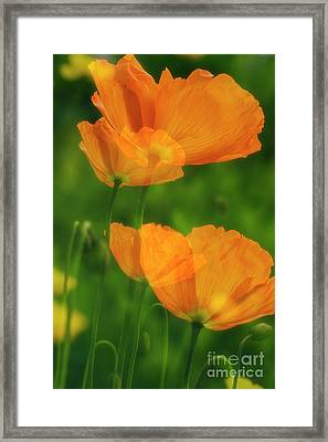 Papaver Nudicaule Framed Print