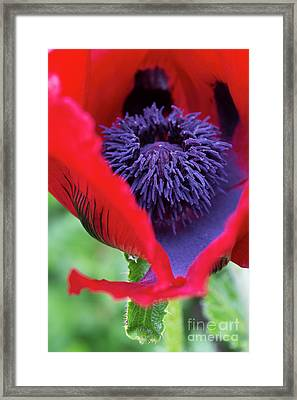 Papaver Orientale Beauty Of Livermere Framed Print by Tim Gainey