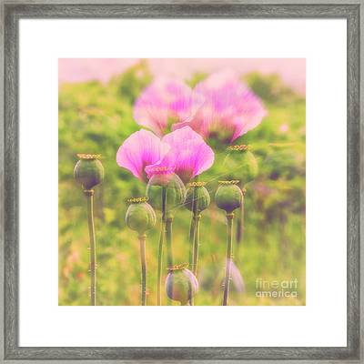 Papaver Somniferum II Framed Print