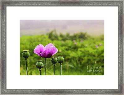 Papaver Somniferum Framed Print