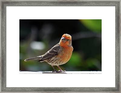 Papaya Bird Framed Print by Dan McManus