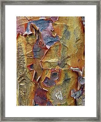 Paperbark Maple   Framed Print