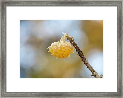 Paperbush Flower Framed Print