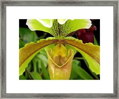 Paphiopedilum Orchid Framed Print by Rosalie Scanlon