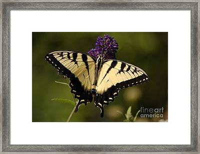 Papilio Yellow Framed Print by Randy Bodkins