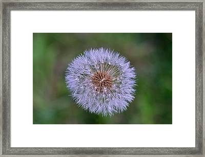 Parachute Club- Dandelion Gone To Seed Framed Print by David Porteus
