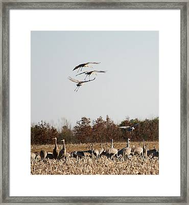 Framed Print featuring the photograph Parachuting Cranes by Diane Merkle
