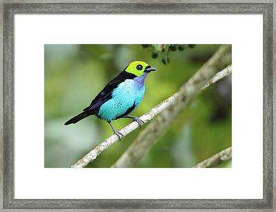 Paradise Tanager In Ecuador Framed Print