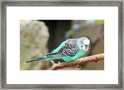 Parakeet  Framed Print by Inspirational Photo Creations Audrey Woods